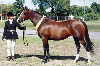 Sherwood Athene (Arabian Park Majestic x Sherwood A'isha), the dam of Rosewood Rhiannon, thus the granddam of Bashir, was bred by Helen Bray.