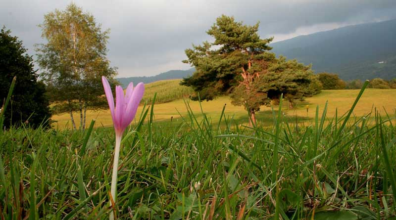 Autumn crocus, Colchicum autumnale, flowers in a pasture in Italy. Photo: Enrico Blasutto