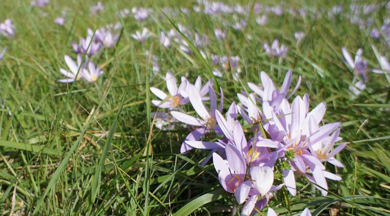 The autumn crocus, Colchicum autumnale, flowers in a meadow in Lauterbourg, in the Alsace region of France. Photo: Aloxe, Free Art License, viat Wikimedia Commons