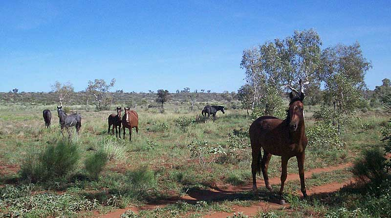 Brumbies graze near a dirt road. Photo: Kersti Nebelsiek assumed, Public domain via Wikimedia Commons