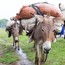 Working donkeys in Ethiopia. © Spana
