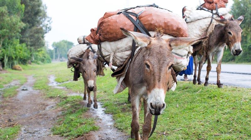 Working donkeys in Ethiopia.