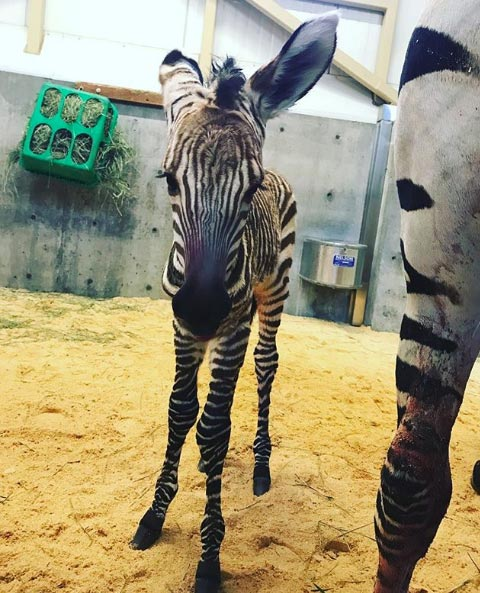 A Hartmann's Mountain Zebra foal has been born at Hogle Zoo in Utah.