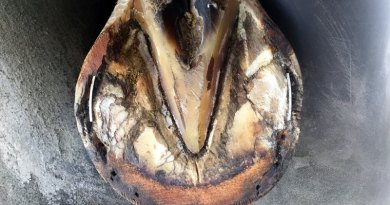 D.E. Hoof Taps were inserted into wallseparations in this hoof after the shoe had beenhot fit to the foot. The farrier will now nail theshoe on over the taps.