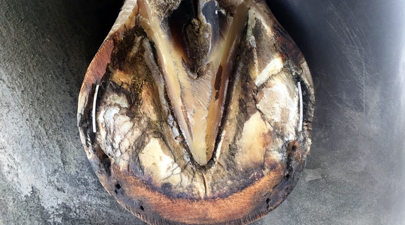 D.E. Hoof Taps were inserted into wall separations in this hoof after the shoe had been hot fit to the foot. The farrier will now nail the shoe on over the taps.