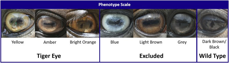 Phenotype scale used for iris color variation. Yellow, amber, and bright orange irises were considered to be tiger-eyed. Horses with dark brown/black eyes were considered to be the wild-type phenotype. Blue, light brown, and gray were excluded from the study.