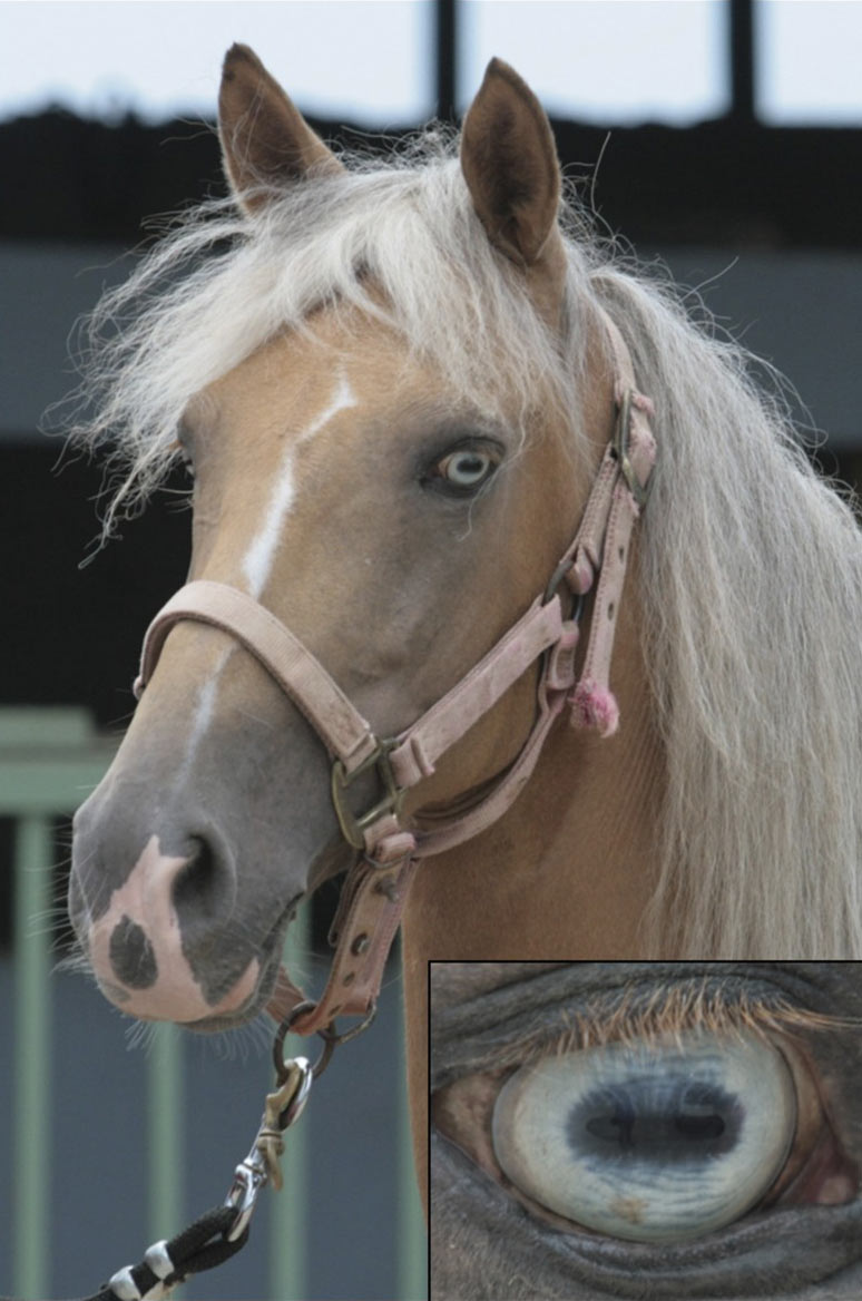 Homozygosity for SLC24A5 exon 7 deletion. Homozygosity for the 628 bp deletion of SLC24A5 is not lethal as evidenced by a single blue-eyed horse. The bilateral blue eye color is shown here (right eye is shown in inset).