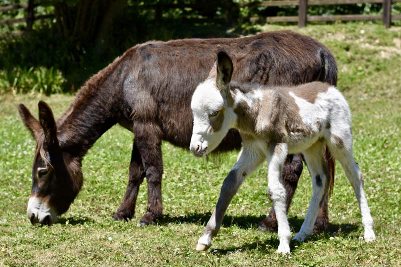 Coby and his mum, Fudge, who was taken into care by The Donkey Sanctuary.