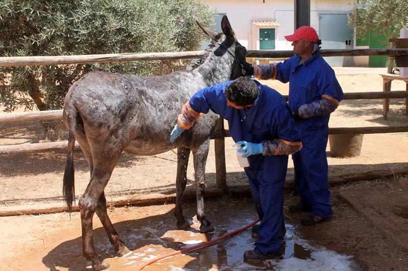 Staff atEl Refugio del Burrito give Flor a medicated bath.©The Donkey Sanctuary