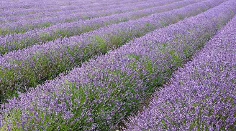 A lavender field in Hitchin, England. Photo: fir0002|flagstaffotos.com.au GFDL 1.2, via Wikimedia Commons