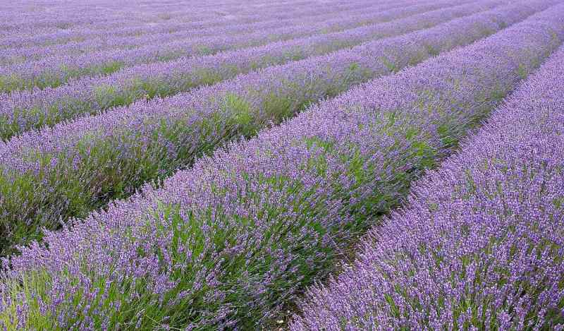 A lavender field in Hitchin, England. Photo: DeFacto CC BY-SA 4.0 via from Wikimedia Commons