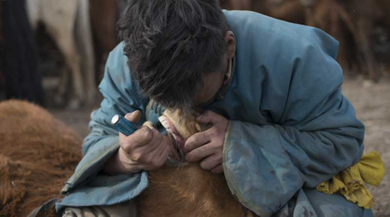 """A Mongolian herder removesa first premolar, or """"wolf tooth"""", from a young horse during the spring roundup using a screwdriver. Photo: Dimitri Staszewski. Taylor et al. 2018. Origins of Equine Dentistry. PNAS"""