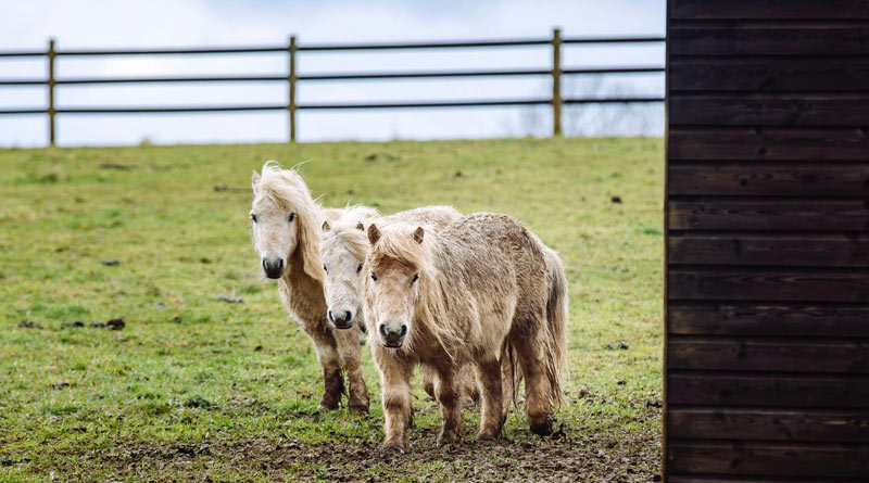 The owner of the ponies was prosecuted for neglect.