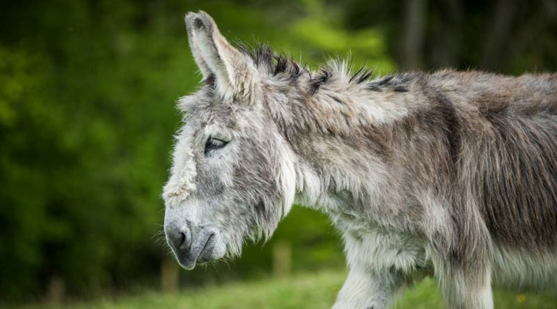 Ashley is one of the donkeys available for adoption this festive season.
