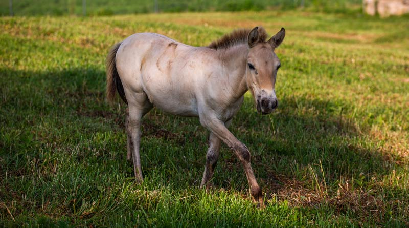 Dahlores, who was born to Olga on March 20, is the eldest of the four Przewalski Horse foals born at the SCBI this year.
