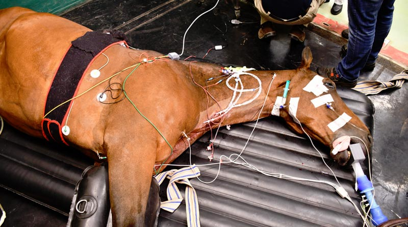 Using electric cardioversion, the horse's heart is brought back into the right rhythm with targeted electric shocks.