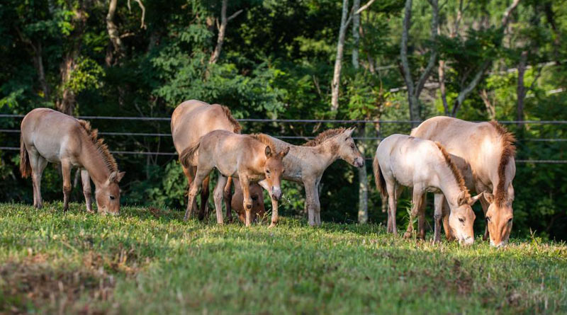 It is the first time in 28 years the Smithsonian Conservation Biology Institute has had four foals at one time.