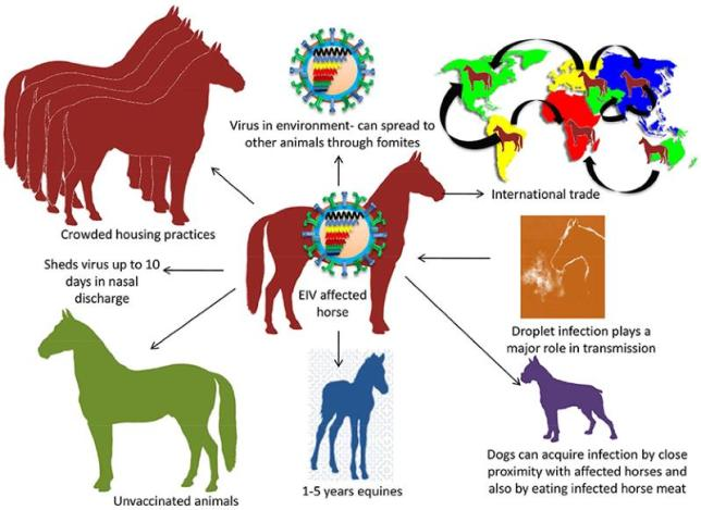 Transmission of EIV. Droplet infection is an important mode of transmission. Transmission between animals includes crowded housing practices, non-vaccination, young horses of 1–5 years and international trade. Dog gets EIV by consuming infected dead horse meat. Image: Singh et al. https://doi.org/10.3389/fmicb.2018.01941
