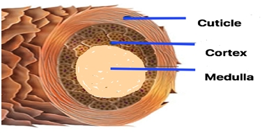 Cross section of a hair shaft.