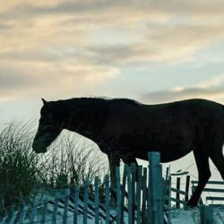 Three of the wild horse herds in the Carolinas are accounted for after Hurricane Florence. © Southern Living