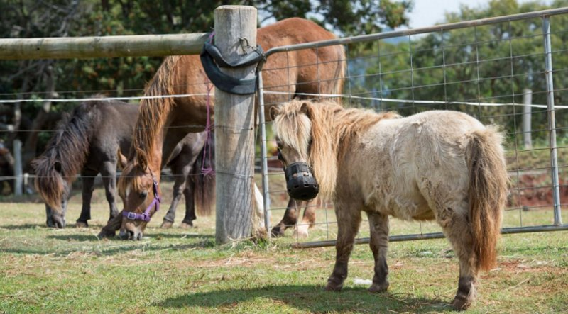 Field trials in Europe for a drug which successfully combats laminitis are an important step in getting regulatory approval for its use. Photo: Anthony Weate