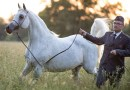 Heady days of high prices a memory for Pride of Poland arabian horse sale