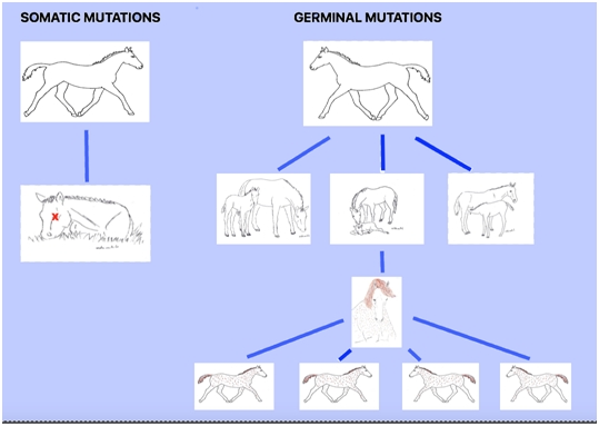 This chart illustrates the difference between somatic and germinal mutations.