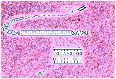 Substitution of an A for a G in the 11th equine chromosome within the KRT25 gene.