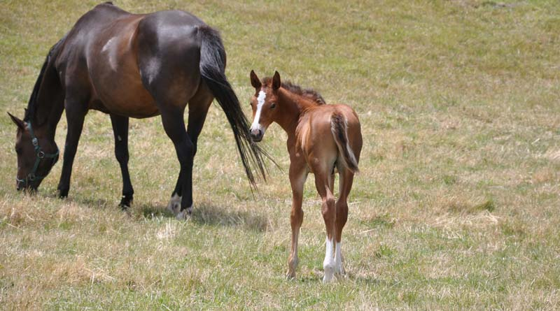 All horses being tested at TB stud after piroplasmosis result - Horsetalk.co.nz