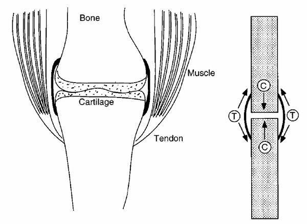 Ddiagram of a generic articular joint (left) and grossly simplified corresponding internal stresses in bone, cartilage, and ligaments (right). Acting external loads are indicated as primarily compressive (C) or tensile (T).