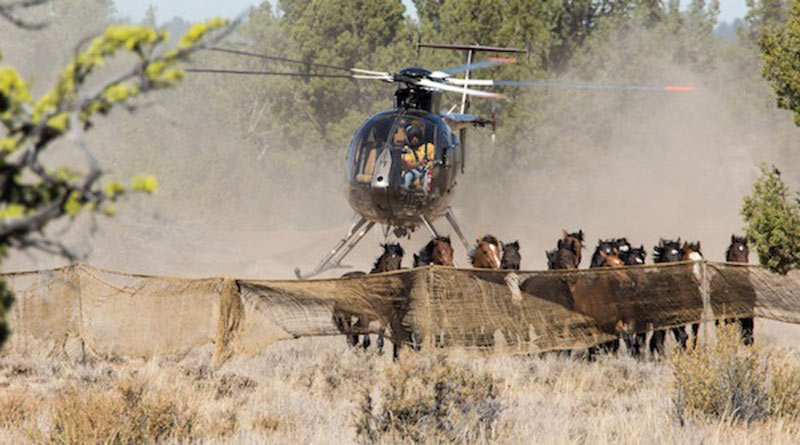 A contractor's helicopter drives wild horses into the trap at Devils Garden during a 2016 roundup.