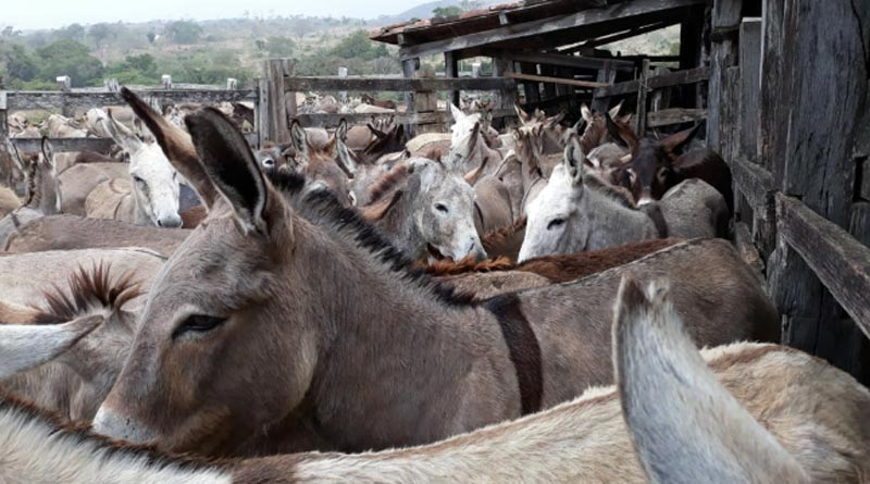 Donkeys awaiting slaughter at a holding compound in Itapetinga, Brazil in September 2018, which has since been closed down.