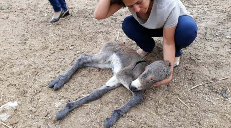 A dying donkey foal at the Itapetinga compound.