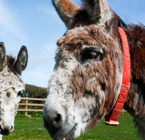 Stroke Claims Life Of Popular Pensioner Donkey Henry 47 Horsetalk