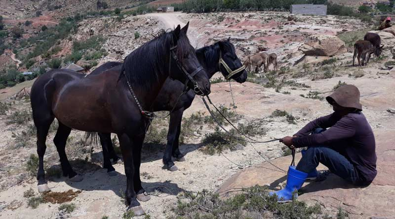 Working horses in Lesotho during the workshop.