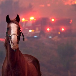 A horse is spooked as the Woolsey Fire moves through a property in Agoura Hills, California, on Nov. 9, 2018. © Matthew Simmons / Getty Images / Brooke USA