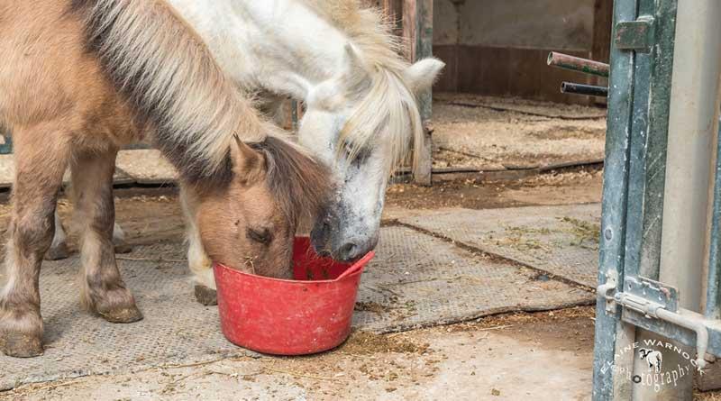 Rescued ponies Fudge, left, and Anne atEasy Horse Care Rescue Centre.