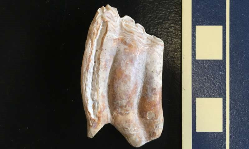 Researchers examined strontium in 89 fossilized teeth excavated from two sites in Florida. Pictured is a tooth from the prehistoric horse Cormohipparion. Photo: Jenelle Wallace