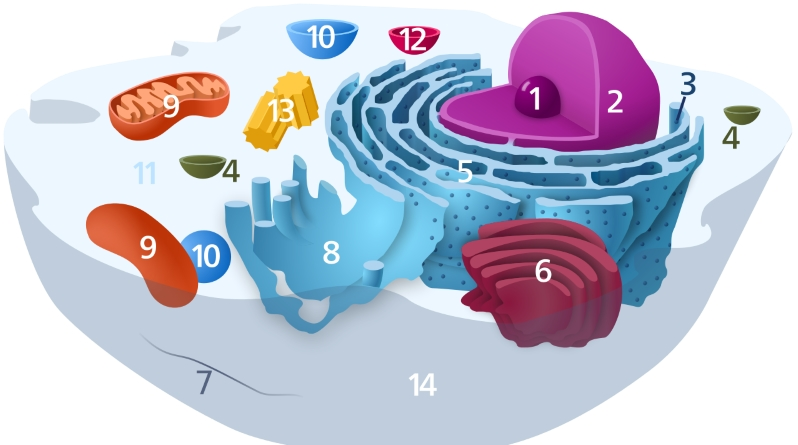 "Components of a typical animal cell. 1: Nucleolus; 2: Nucleus; 3: Ribosome (little dots); 4: Vesicle; 5: Rough endoplasmic reticulum; 6: Golgi apparatus (or ""Golgi body""); 7: Cytoskeleton; 8: Smooth endoplasmic reticulum; 9: Mitochondrion; 10: Vacuole; 11: Cytosol (fluid that contains organelles, comprising the cytoplasm); 12: Lysosome; 13: Centrosome; 14:Cell membrane Image: Kelvinsong, CC0, via Wikimedia Commons"