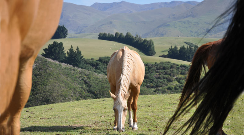 When grazing, the horse picks up a variety of beneficial organisms to help him maintain a healthy microflora in the hindgut.