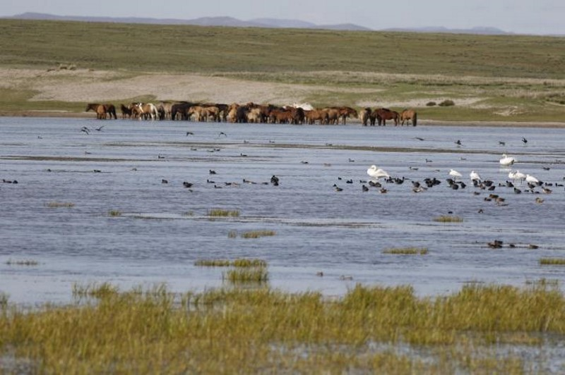A typical view of a lake in Mongolia where horses and wild birds live in close proximity. This shared environment is likely to facilitate the exposure of horses to avian influenza viruses. Photo: Ariunbaatar Barkhasbaatar, Wildlife Conservation Society