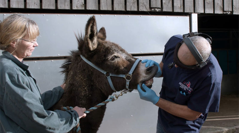 A new arrival to The Donkey Sanctuary gets a checkup.