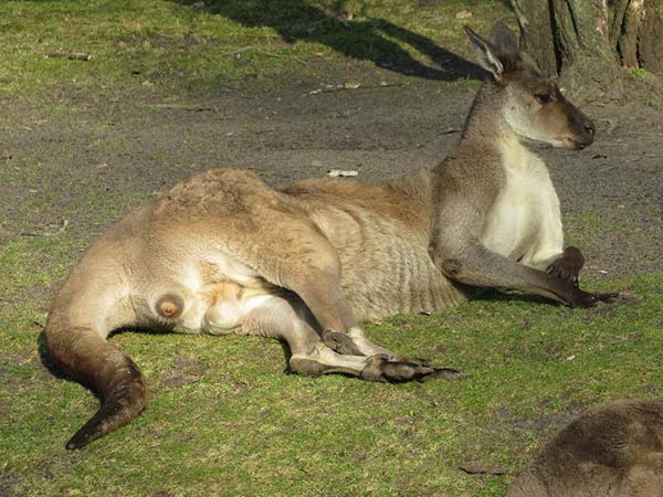 The only animal investigated that sometimes rests on its back is the red kangaroo.