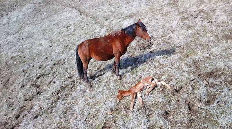 Drone footage shows Lakota standing vigil over her newborn foal.