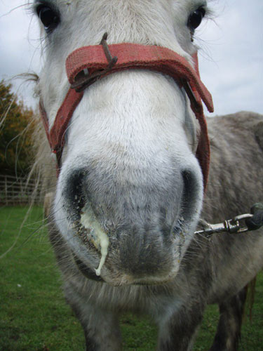 A horse with a nasal discharge, one of the signs of Strangles.