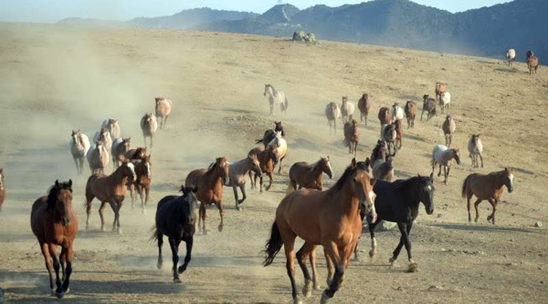 Wild horses at Return to Freedom's San Luis Obispo, California, satellite sanctuary.