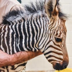 Abby and Zack's new Hartmann's mountain zebra filly foal was born on May 13. © Virginia Zoo