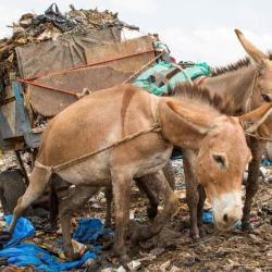 Working donkeys in Mali. © Spana/Dylan Thomas Photography