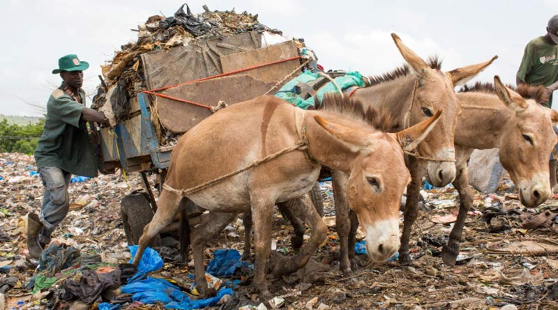 Working donkeys in Mali.