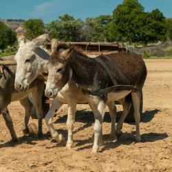Donkeys at work with their owner in Zimbabwe. © Spana